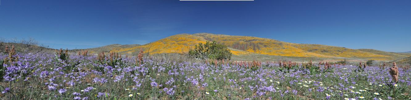 Wildflower Panorama