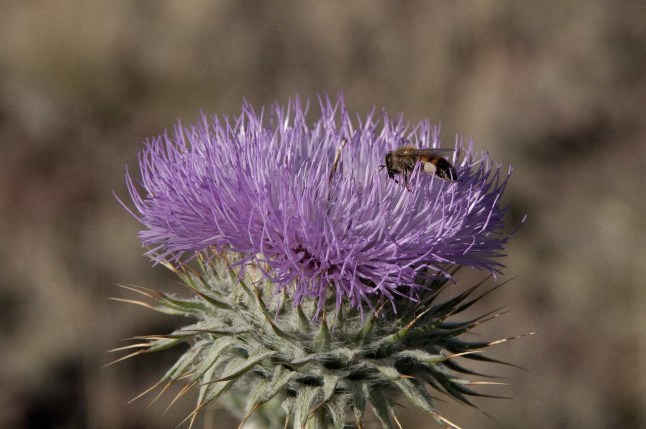 Scottish thistel and bee