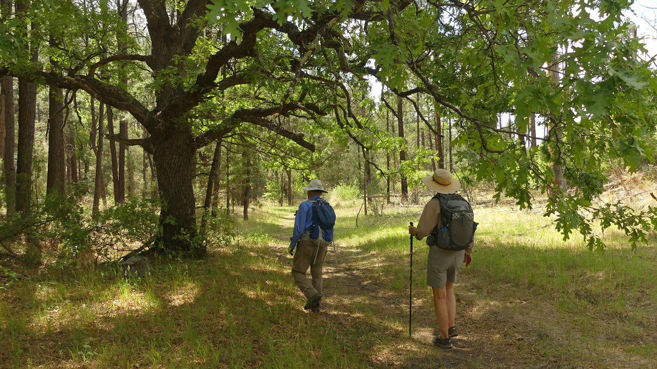 cottonwood tree and hikers