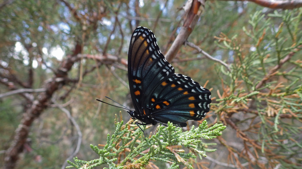 ed-spotted purple butterfly