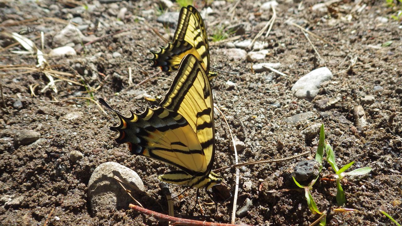 swallowtail butterfiels