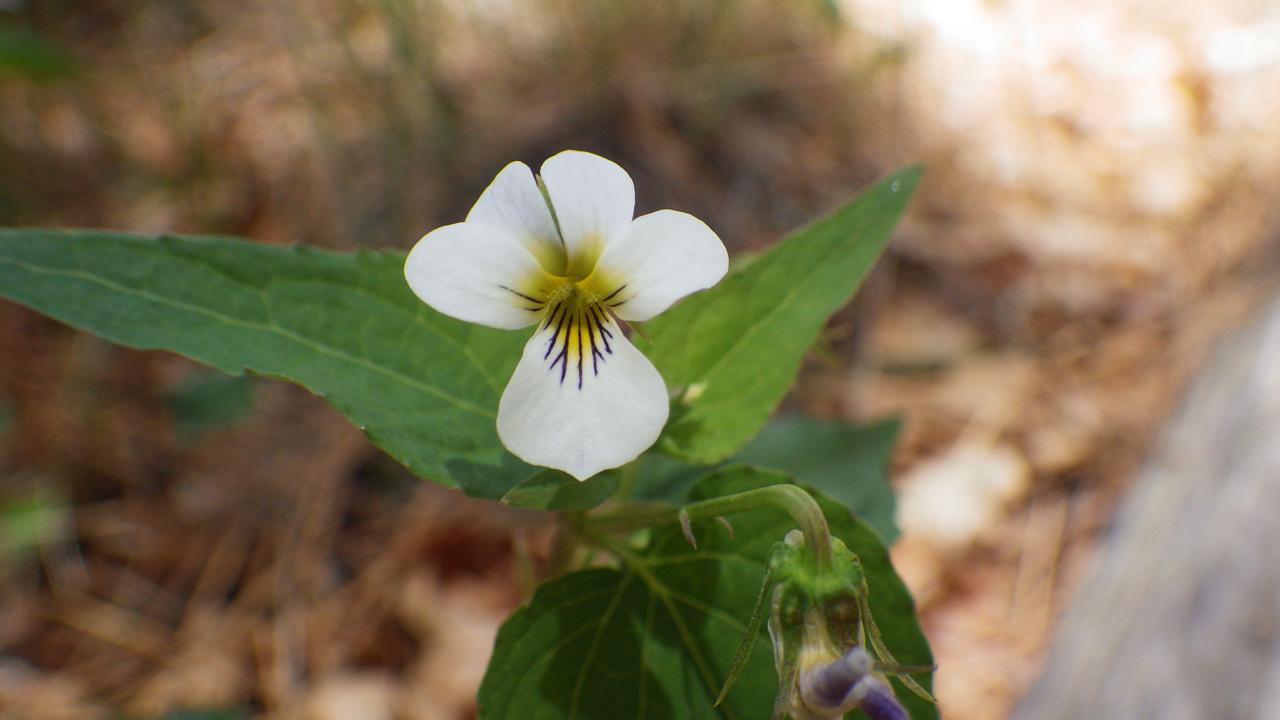 white violets