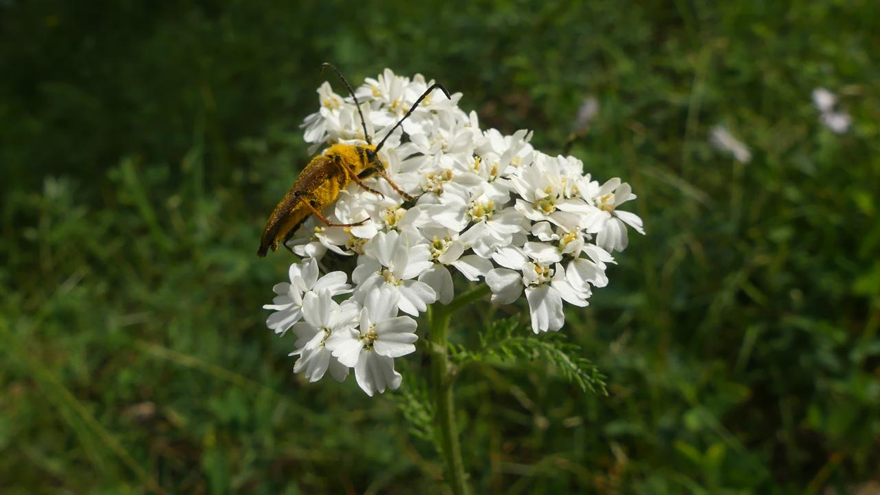 ellow Velvet Beetle on Yarrow