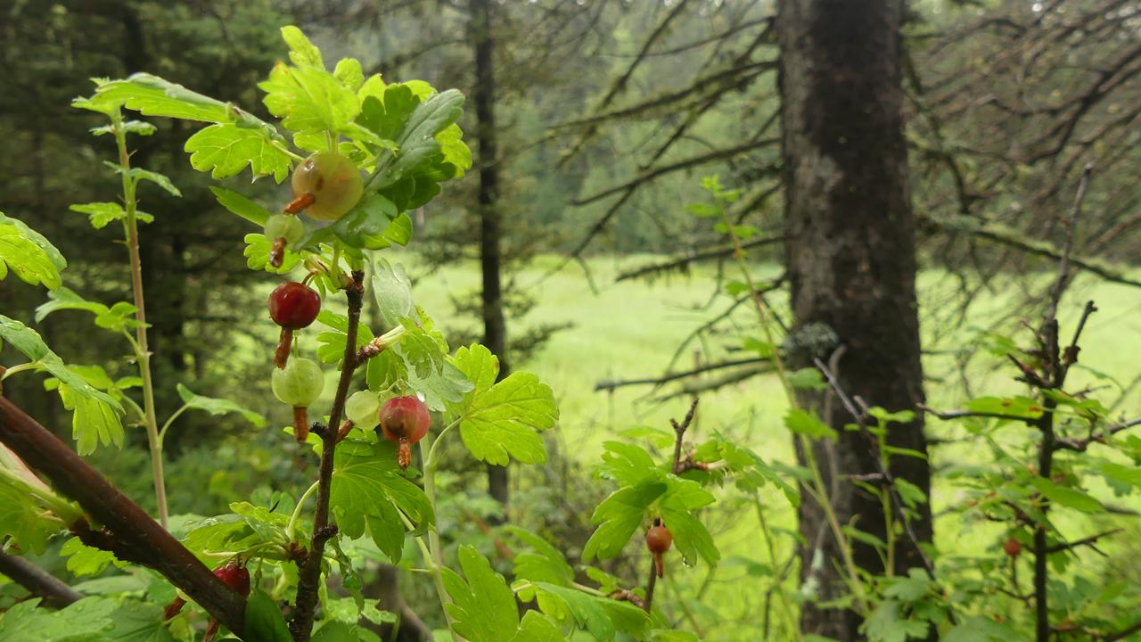 Mountain Gooseberry