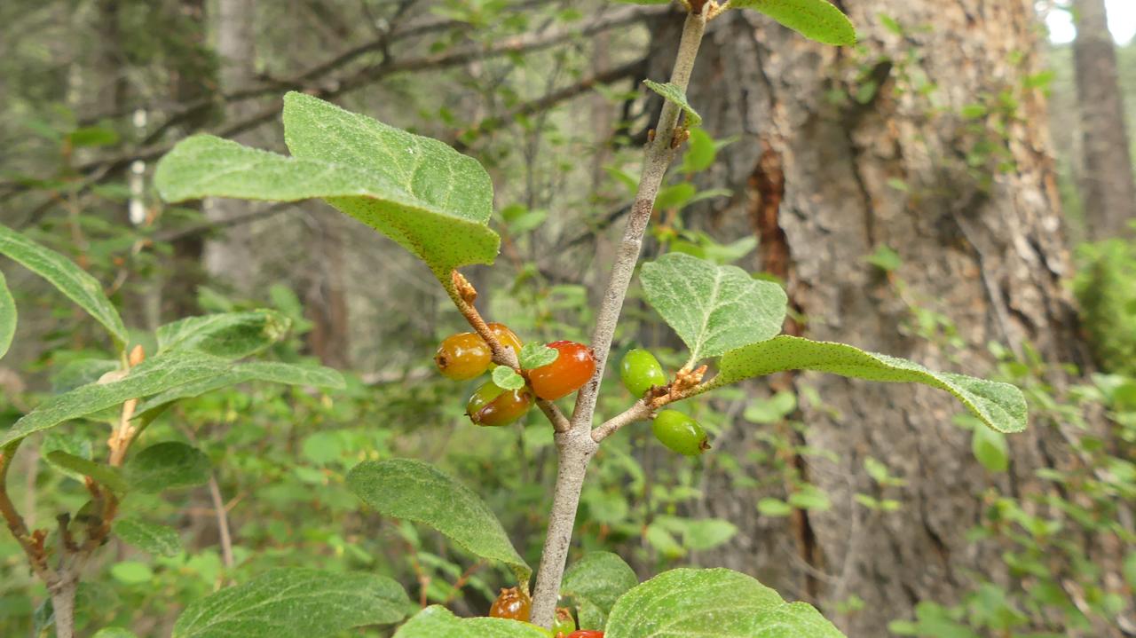 Canadian Buffaloberry