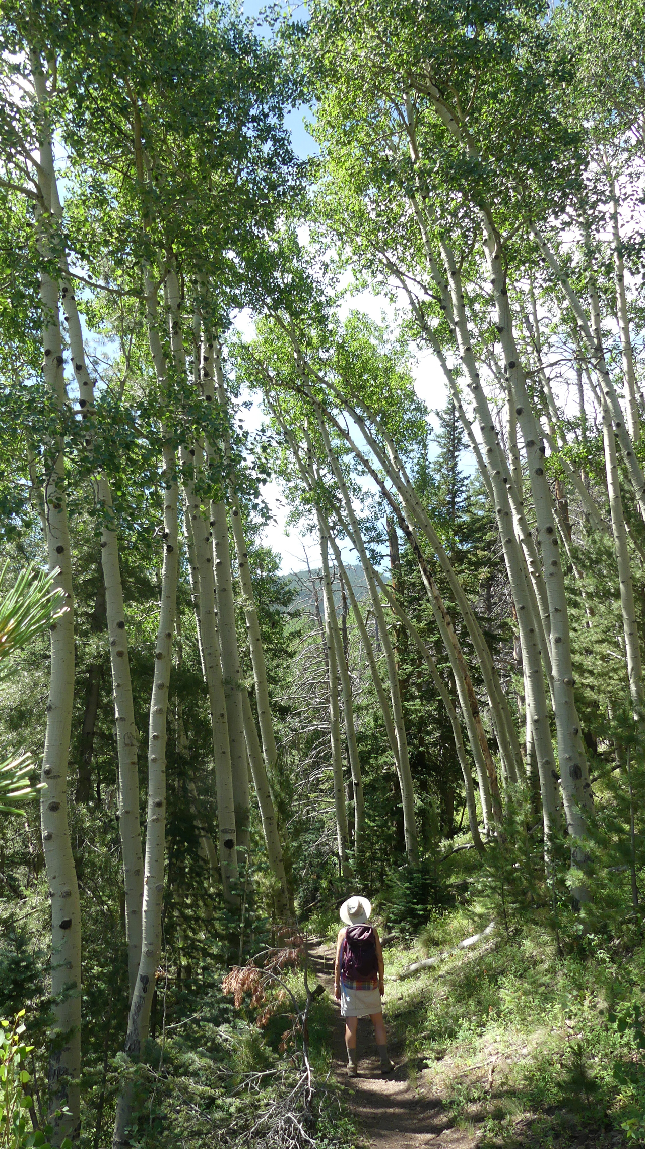 towering aspens