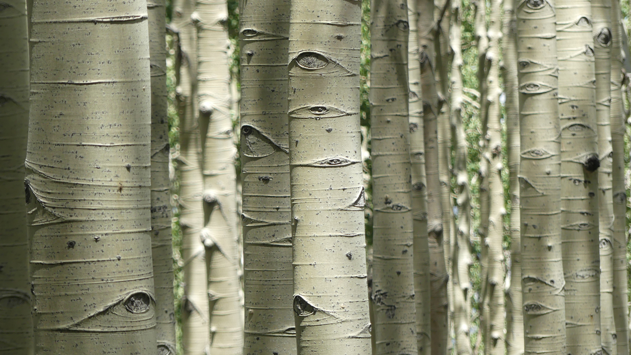 the aspen have eyes