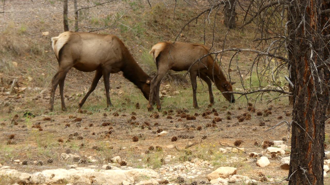 elk at the Grand Canyon
