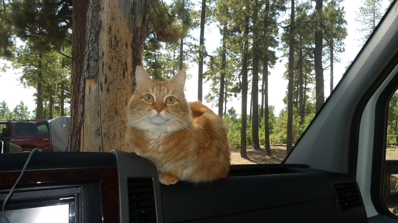 cat on the dash