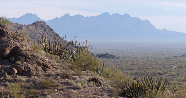 Organ pipe cactus with the Ajo Mountains